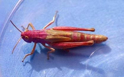 pink-grasshopper